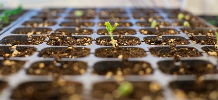 Seedlings_sprouting_indoors